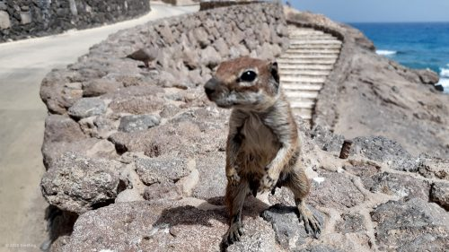 Atlashörnchen Fuerteventura