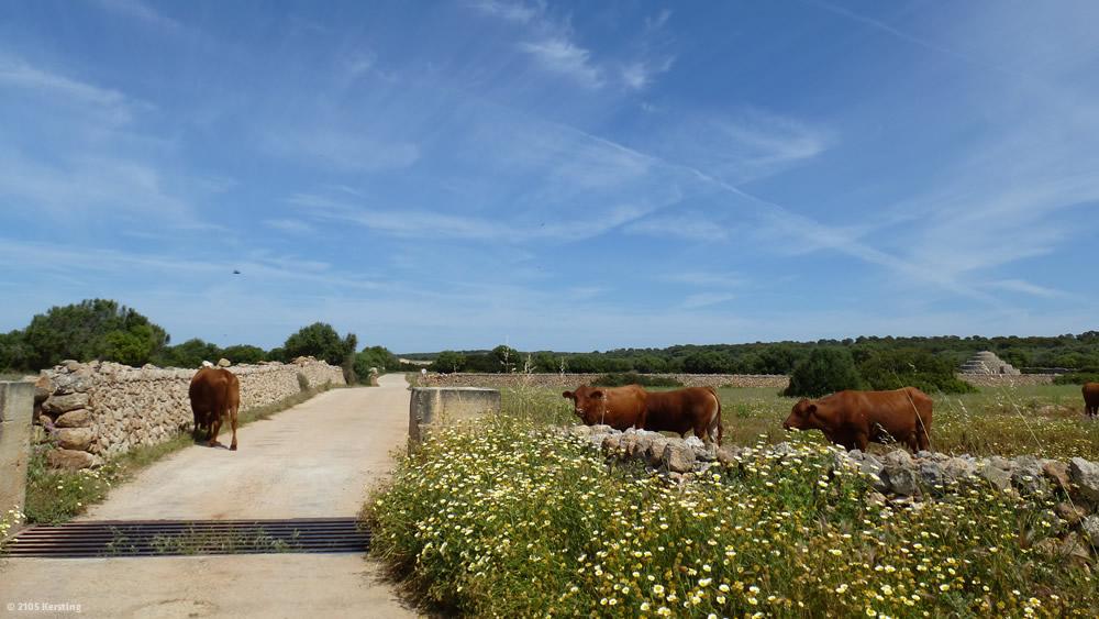Menorca: Kühe auf der Straße