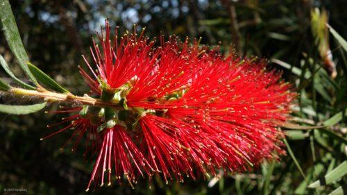Native plant in the Eastern Algarve