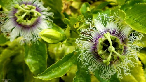 Passion flower in the Algarve